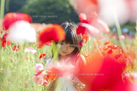 ポピーの花畑で遊ぶ女の子 FYI00318334