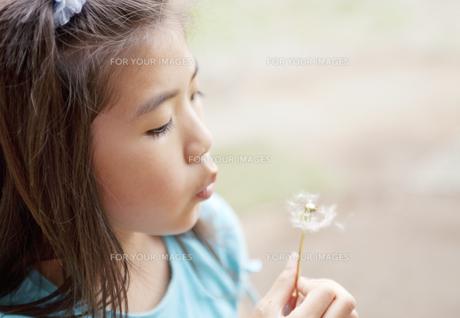 タンポポの綿毛を吹く女の子 FYI00318341