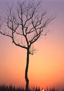 夕焼けの中 (一本の樹) FYI00319053