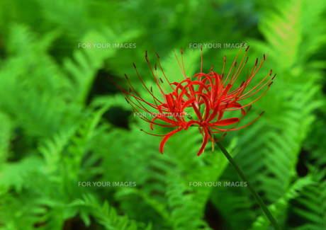 一輪のヒガン花 (赤) FYI00319058