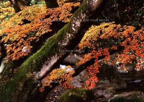 秋色に染まる楓 FYI00319061