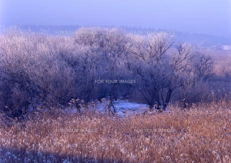 霧氷が覆う湿原の樹 FYI00319100