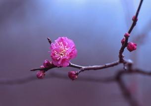 咲き始めた紅梅 FYI00319115