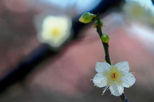 枝を伸ばす一重の白梅 FYI00319124