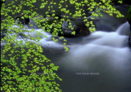 楓の新緑と渓谷の流れ FYI00319130