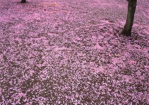 桃の花びらが一面に散る FYI00319159