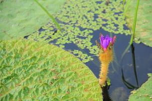 水が育むオニバスの花 FYI00319207