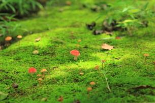 苔の道の可愛いキノコ達 FYI00319220