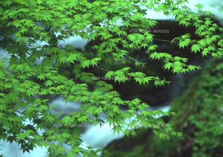 爽やかな緑の渓谷 FYI00319225