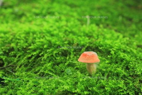 苔の中から願を出した可愛いキノコ FYI00319237