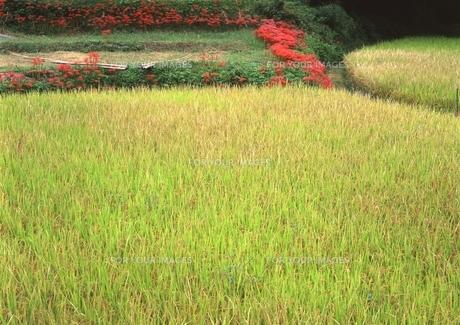 稲の実りと彼岸花 FYI00319238