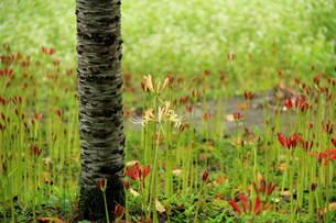 紅白の彼岸花つぼみ多い FYI00319240