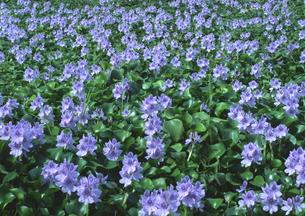 ホテイアオイ一面に咲く8月 FYI00319244