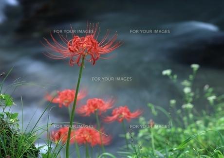 渓流の傍らに咲く彼岸花 FYI00319245