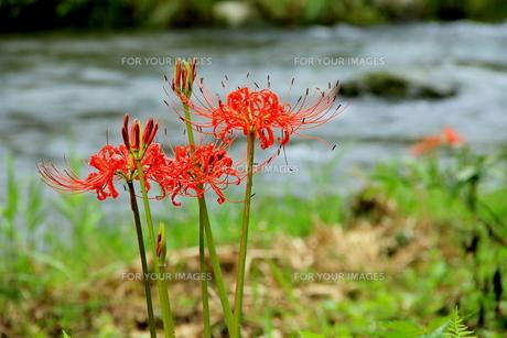 渓谷の傍らに彼岸花が咲く FYI00319249