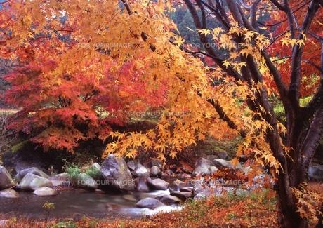渓谷の流れと紅葉 FYI00319275