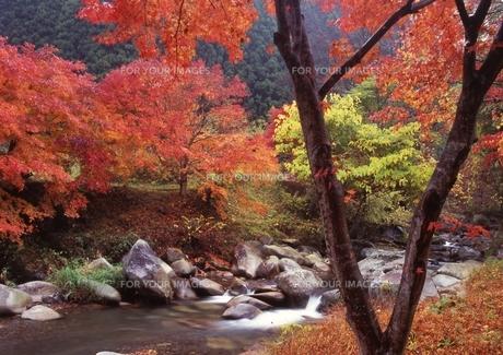 渓谷の木紅葉と流れ FYI00319276