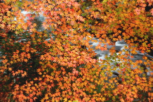 渓谷に赤一面の楓 FYI00319283