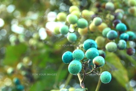 青い宝石を思わせる実 FYI00319299