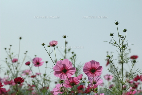 生きいきと咲くコスモス FYI00319307