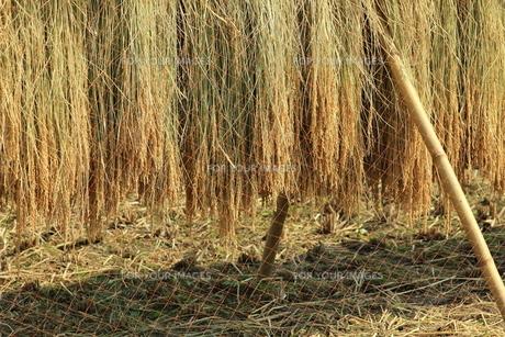 稲の天日干し FYI00319308