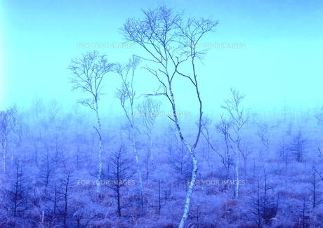 霧の中に浮かび上がる白樺 FYI00319310