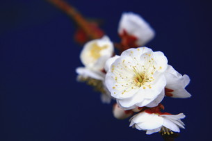青空と八重咲きの白梅 FYI00319333