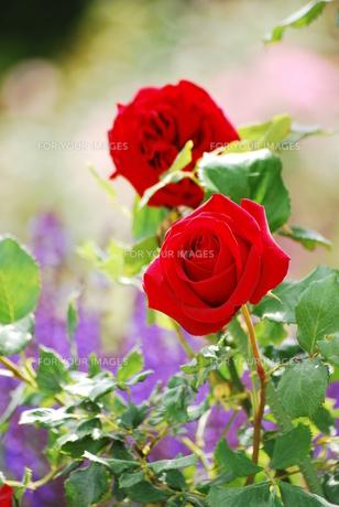 情熱の薔薇 FYI00319368