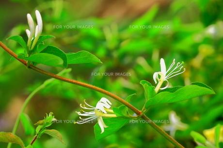 スイカズラの白い花 FYI00319383