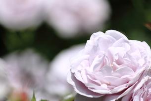 薄紫のバラ FYI00321855