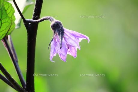 茄子の花 FYI00321879