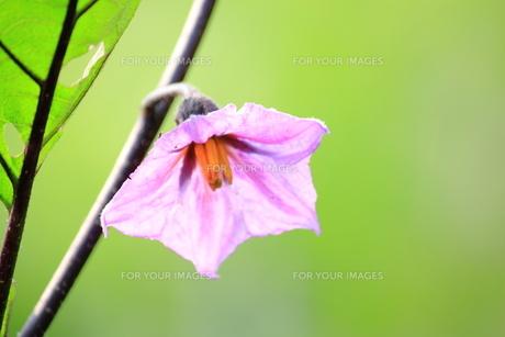 茄子の花 FYI00321881