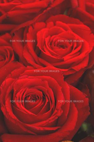 深紅のバラ FYI00322519