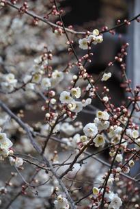 梅の花 FYI00322524