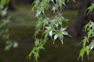 雨にぬれる青紅葉 FYI00322526