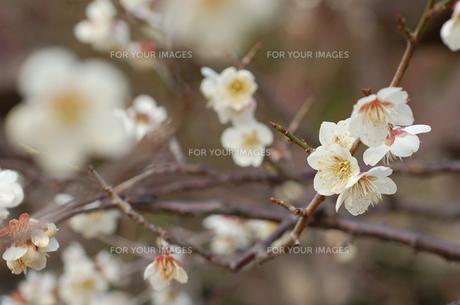 梅の花 FYI00322531