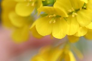 河津の菜の花 FYI00322916