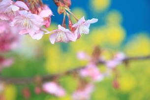 河津桜と菜の花 FYI00322925