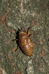 セミの幼虫 FYI00322940