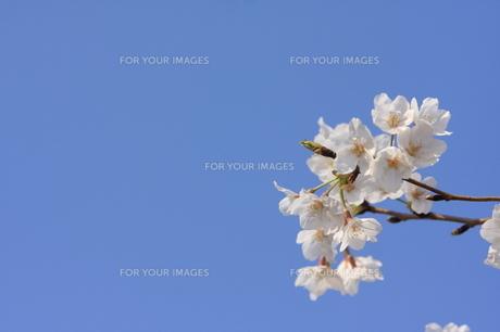 青空と桜 FYI00323279