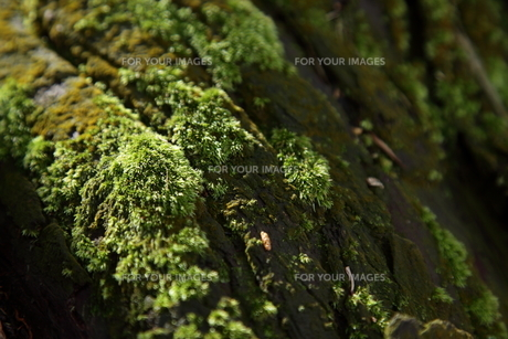 苔むす木 FYI00323298