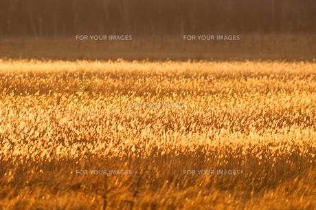 黄金色 FYI00323507