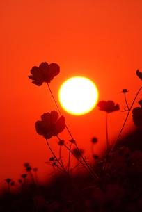 コスモスと夕日 FYI00324170
