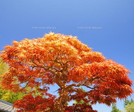 大木に見える盆栽 FYI00324296
