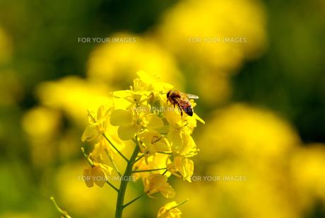 菜の花と蜂 FYI00324345