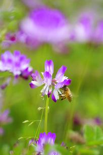 ミツバチと蓮華草 FYI00324357