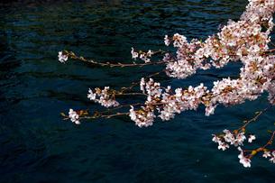 桜 FYI00328536