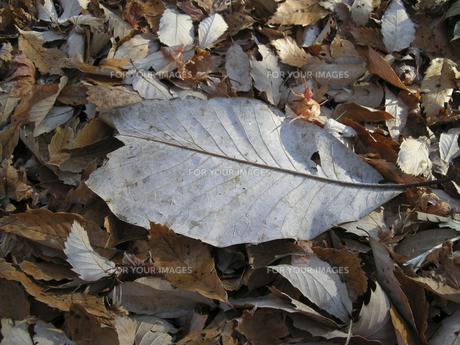 秋の落ち葉 FYI00332308