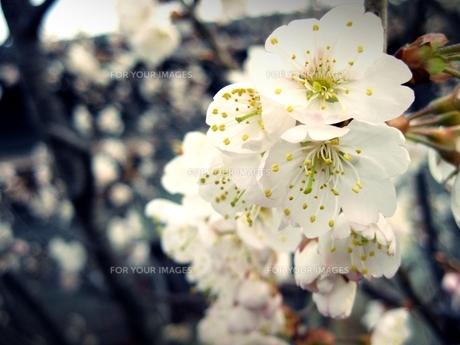 梅の花 FYI00333648