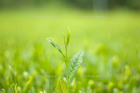 茶畑 FYI00333981